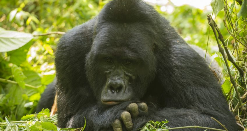 Best lens to photograph mountain gorillas